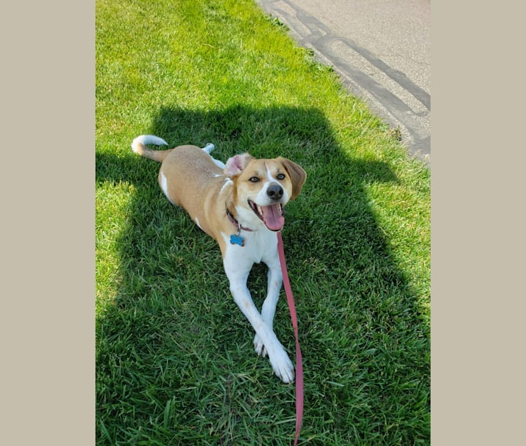 Photo of Mollie, a Treeing Walker Coonhound, Beagle, and Australian Cattle Dog mix