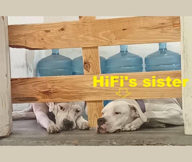 Photo of HiFi, a Dogo Argentino  in Los Angeles, California, USA