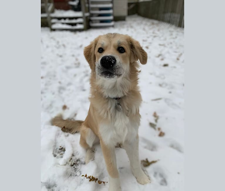 Photo of Honey, a Great Pyrenees, Maremma Sheepdog, and Collie mix in Barrie, ON, Canada