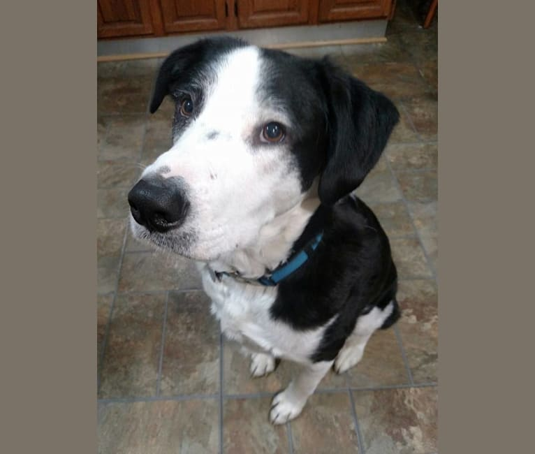 Photo of Baylor, a Border Collie, Staffordshire Terrier, and Labrador Retriever mix