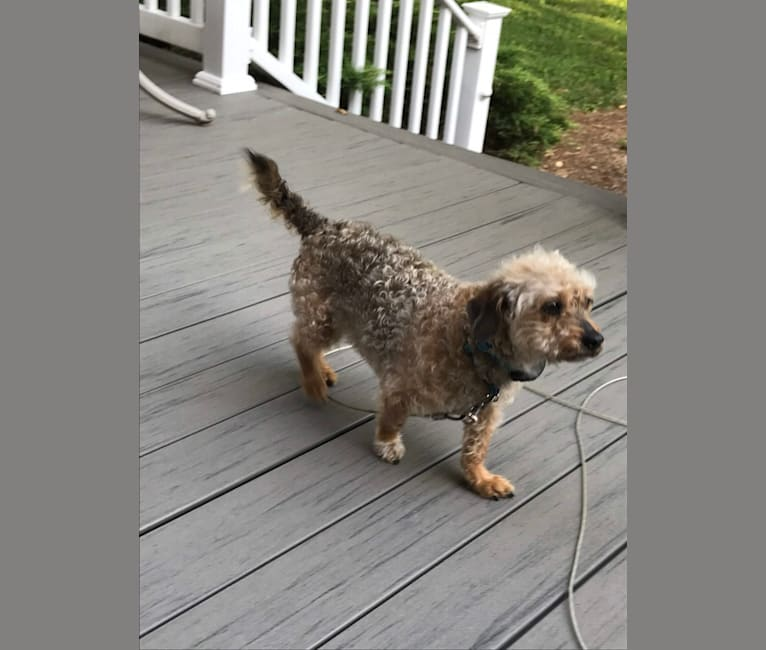 Photo of Curly, a Russell-type Terrier, Poodle (Small), Pug, Chihuahua, and Dachshund mix