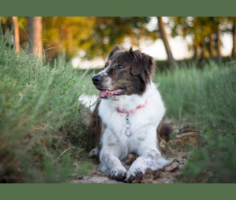 Photo of April, an American Pit Bull Terrier, Great Pyrenees, Australian Cattle Dog, and Boxer mix in Chanute, Kansas, USA