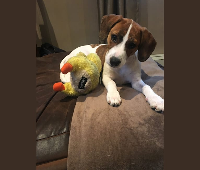 Photo of Sadie, a Beagle, Boston Terrier, Dachshund, and Mixed mix in Tennessee, USA