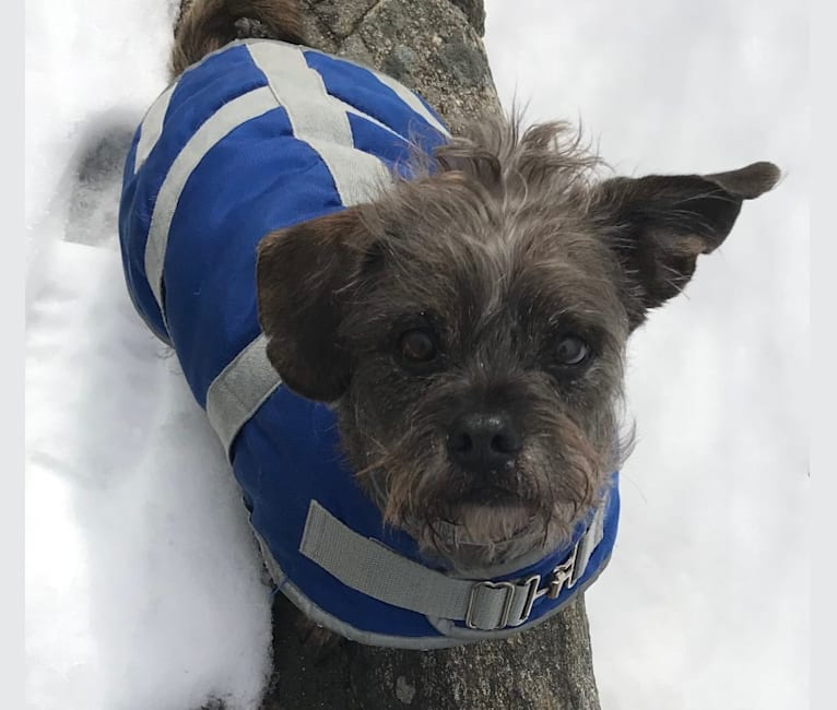 Photo of Bucky, a Lhasa Apso, Rat Terrier, Pug, and Shih Tzu mix in Texas, USA