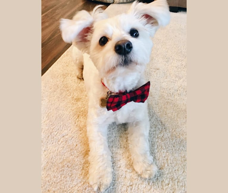 Photo of Finn, a Poodle (Small), Pomeranian, and Mixed mix in Downey, CA, USA