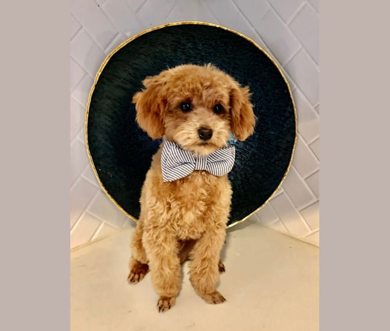 Photo of Copper Duke of Fellingham, a Poodle (Small)  in Provo, Utah, USA
