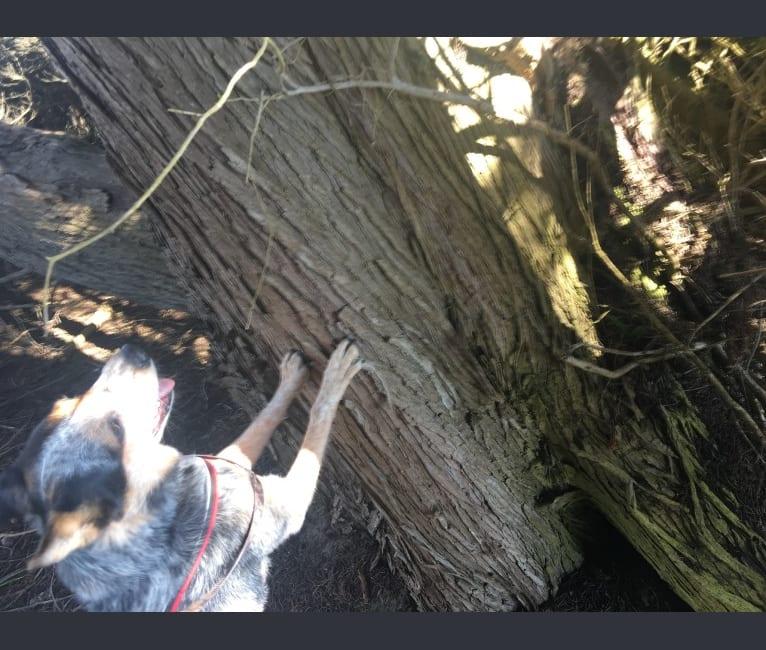 Photo of Buhka, an Australian Cattle Dog  in Tehachapi, California, USA
