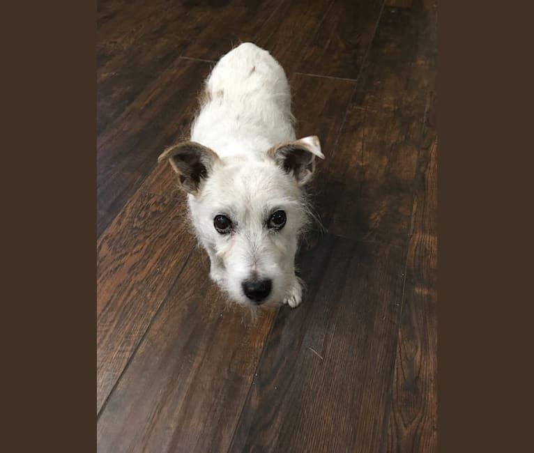Photo of Phoebe Buffay, a Russell-type Terrier  in Gallatin, Tennessee, USA
