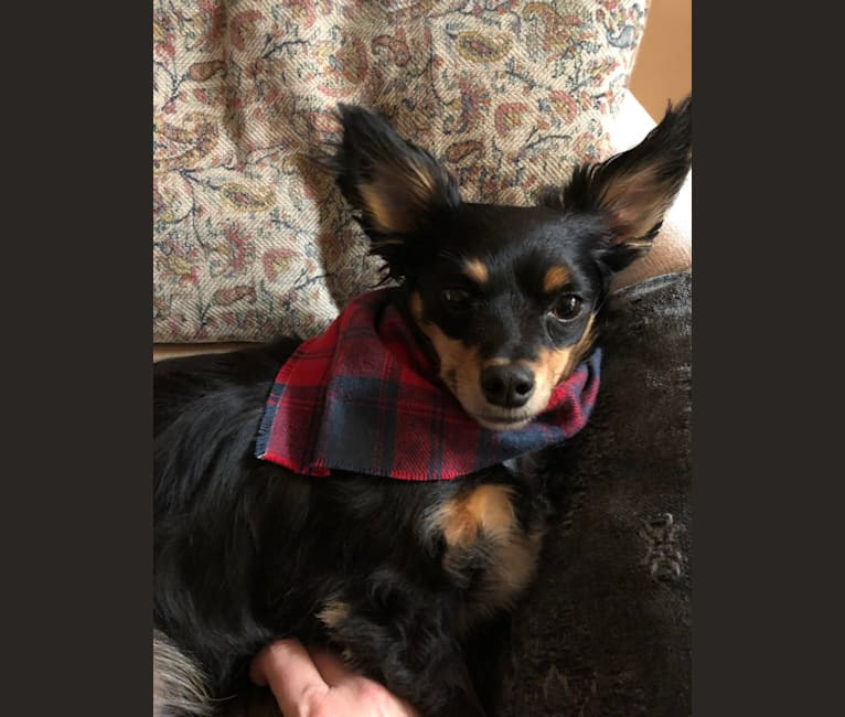 Photo of Dunkin, a Chihuahua, Miniature Pinscher, Dachshund, and Mixed mix in Tyler, Texas, USA