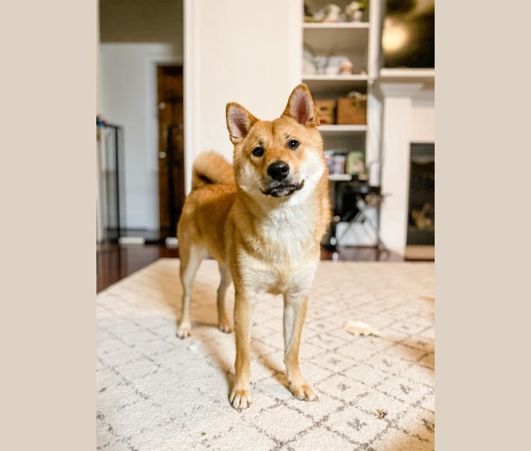 Photo of Axel, a Shiba Inu  in Freeport, Florida, USA