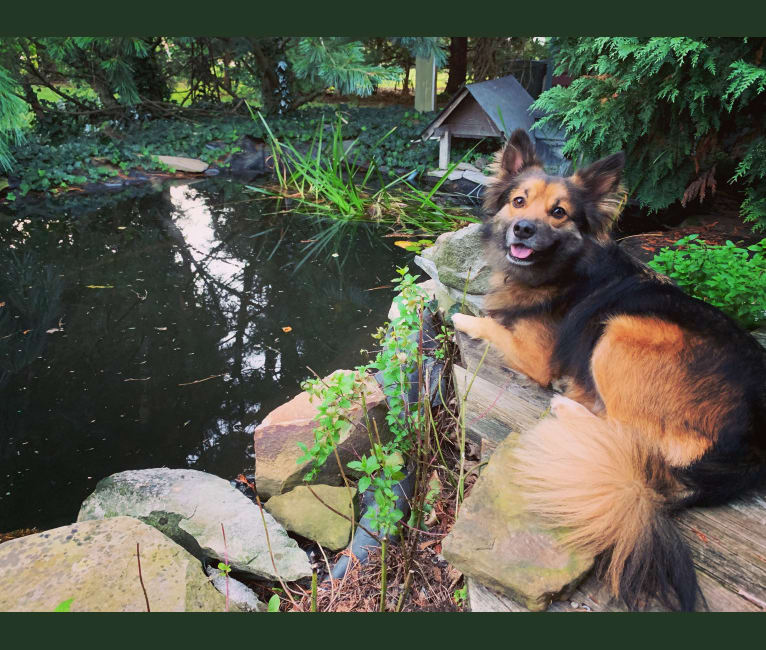 Photo of Frodo, a Rat Terrier, Chihuahua, Pug, German Shepherd Dog, and Chow Chow mix in Madison, Ohio, USA