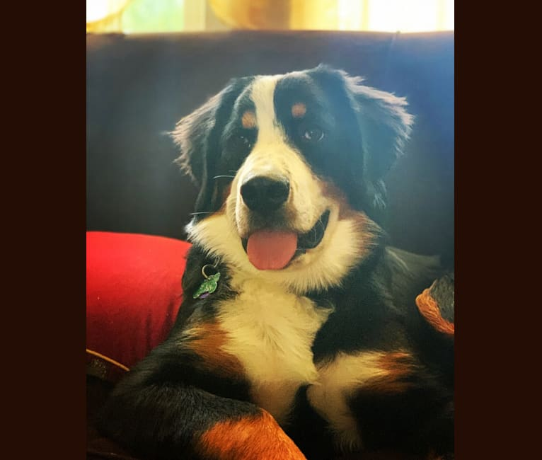 Photo of Lola, a Bernese Mountain Dog  in Arcanum, OH, USA