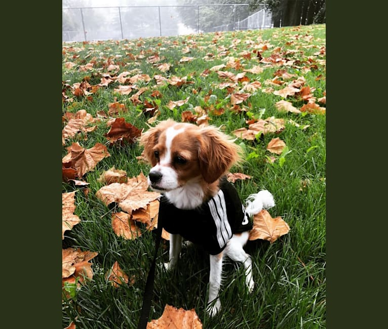 Photo of Otis, a Cavapoo  in Santa Rosa, CA, USA