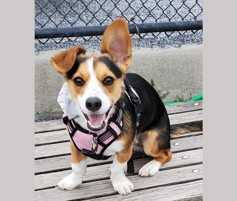 Photo of Luna, a Chihuahua, Dachshund, and Mixed mix in New York, USA