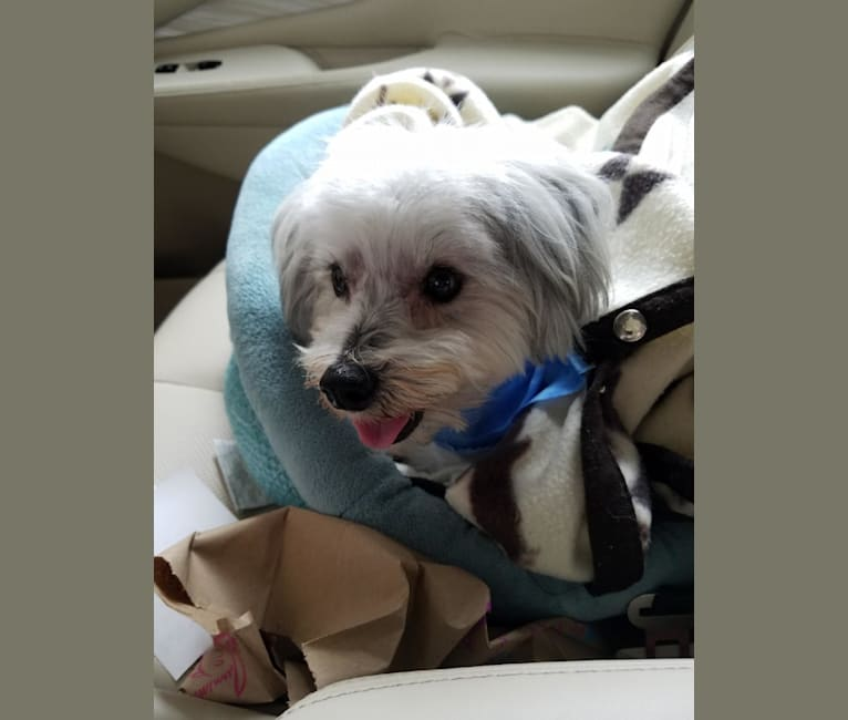 Photo of Oliver, a Poodle (Small), Lhasa Apso, Chihuahua, and Maltese mix in Austin, Texas, USA