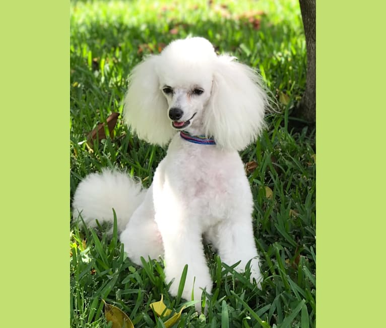 Photo of Keiko, a Poodle (Small)  in Irving, Texas, USA