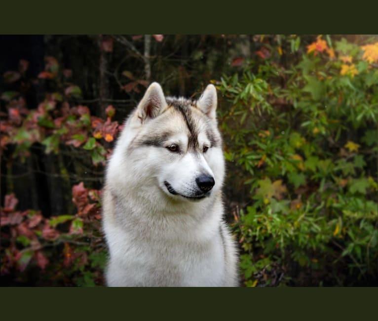 Photo of Noxus, a Siberian Husky  in Rockingham, NC, USA