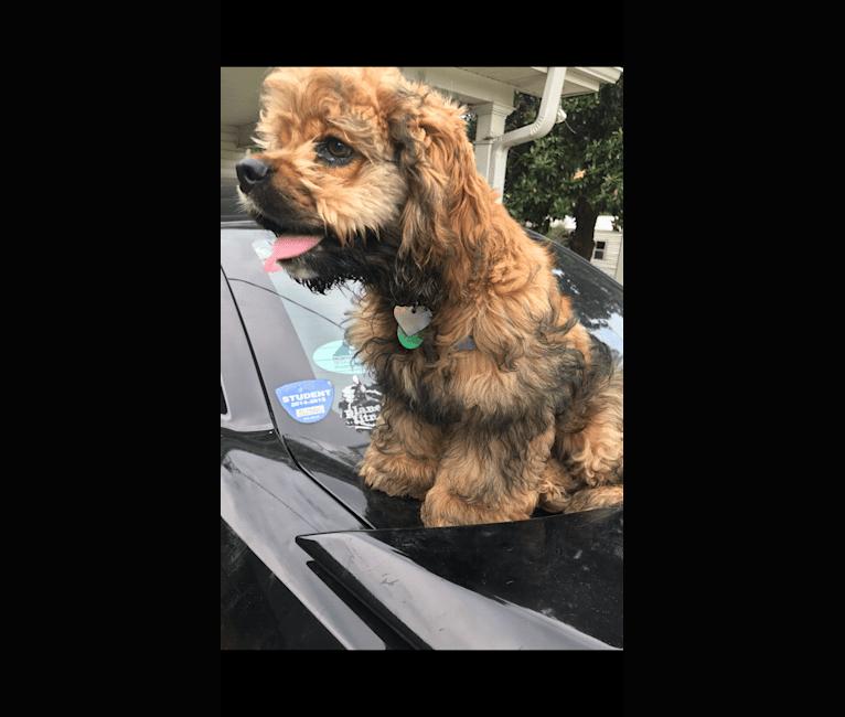 Photo of Zoey, a Cocker Spaniel  in Rayne, LA, USA