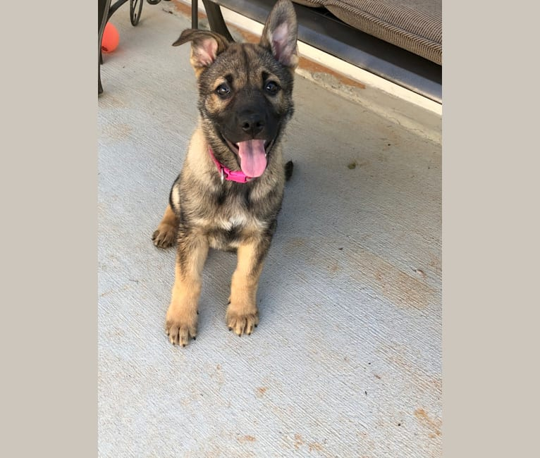Photo of Kaia Rose, a German Shepherd Dog and American Pit Bull Terrier mix in Conyers, Georgia, USA