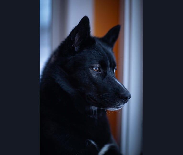Photo of Indigo, a Siberian Husky  in Illinois, USA
