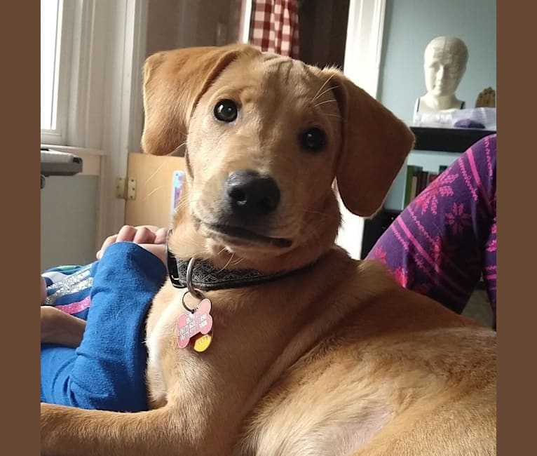 Photo of Bowie, a Labrador Retriever, American Pit Bull Terrier, Chow Chow, Golden Retriever, and Mixed mix in North Andover, Massachusetts, USA