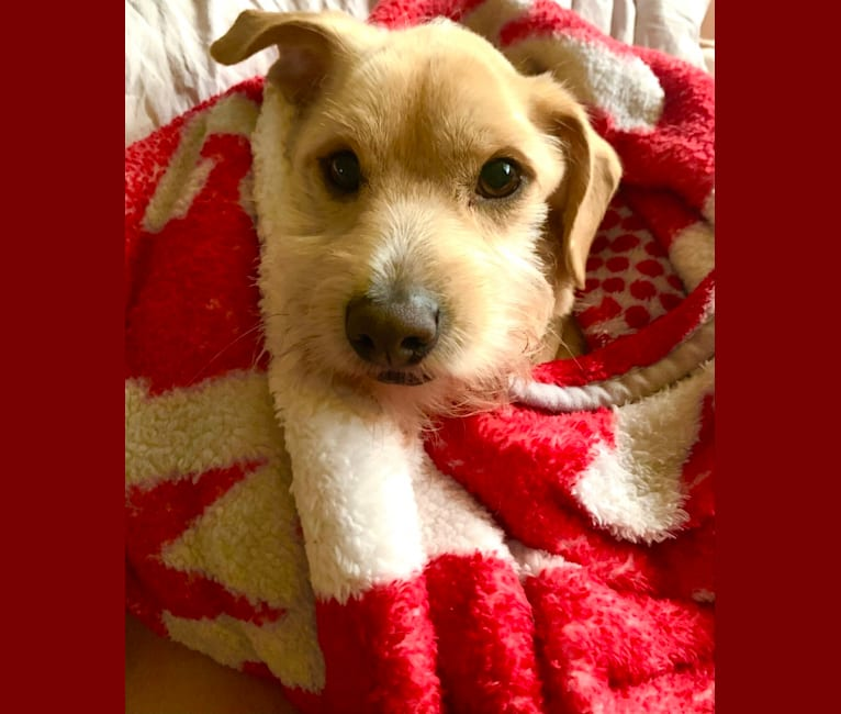 Photo of Obie, a Chihuahua, Poodle (Small), and Mixed mix in The Woodlands, Texas, USA