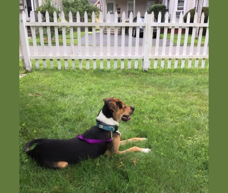 Photo of Henry, a Rottweiler, Border Collie, American Pit Bull Terrier, Dalmatian, German Shepherd Dog, and Mixed mix in Massachusetts, USA