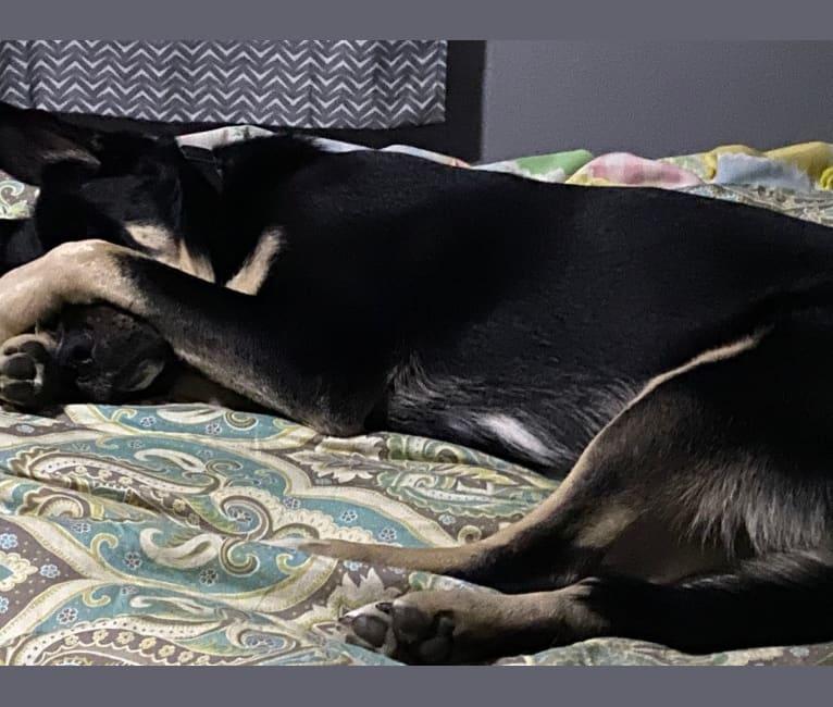 Photo of Oso, a German Shepherd Dog, Great Pyrenees, American Pit Bull Terrier, Bullmastiff, and Golden Retriever mix in San Antonio, Texas, USA