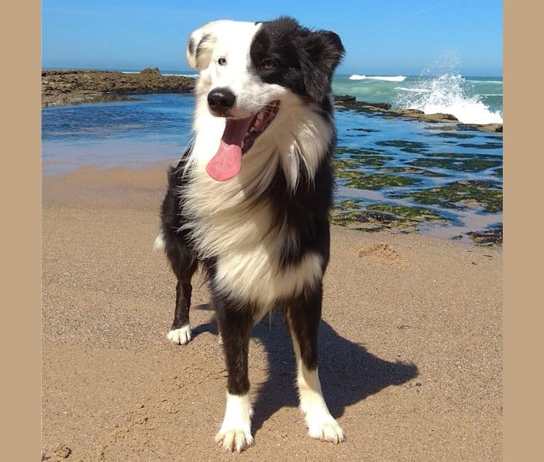 Photo of Apollo, a Border Collie and Australian Shepherd mix in Portugal