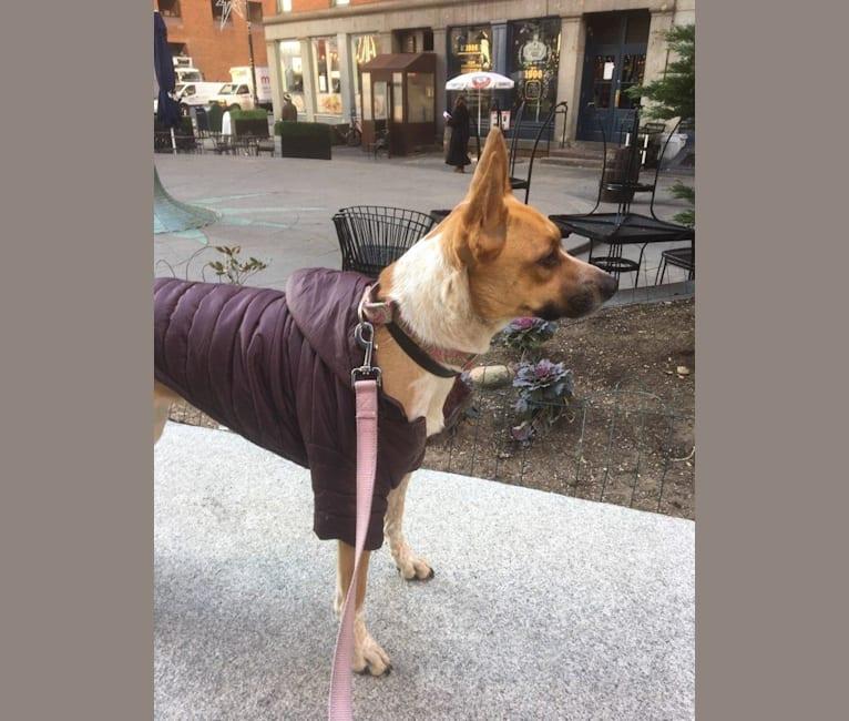 Photo of Gracie, an Australian Cattle Dog, Boxer, and Siberian Husky mix in Georgia, USA