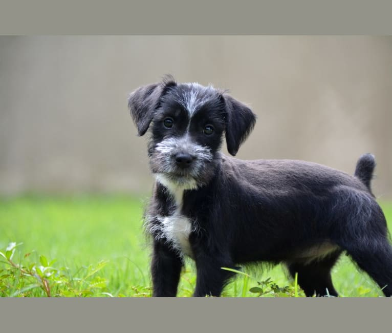 Photo of GRECIA, a Miniature Schnauzer and Mixed mix in Puerto Rico