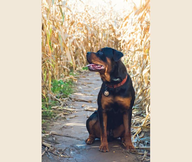 Photo of Burkhardt, a Rottweiler  in Illinois, USA