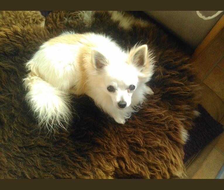 Photo of Simba, a Chihuahua  in Slovakia