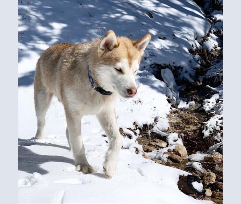 Photo of Mr. Bear, a Siberian Husky and German Shepherd Dog mix in Los Angeles, California, USA