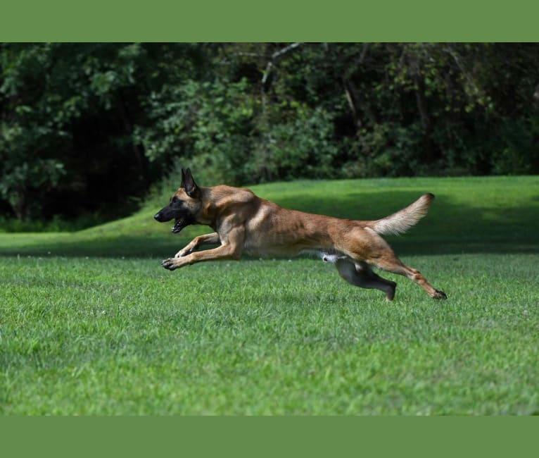 Photo of Jäger, a Belgian Malinois and German Shepherd Dog mix in Virginia, USA