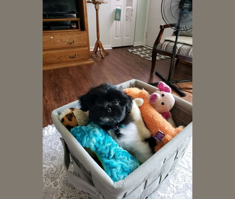 Photo of Willow, a Poodle (Small), Shih Tzu, Yorkshire Terrier, and Pekingese mix in Owosso, Michigan, USA