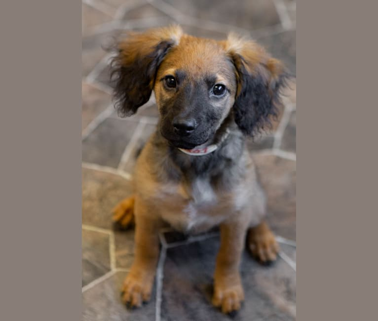 Photo of Lucia, a Cocker Spaniel, Australian Shepherd, American Pit Bull Terrier, and Mixed mix in Texas, USA