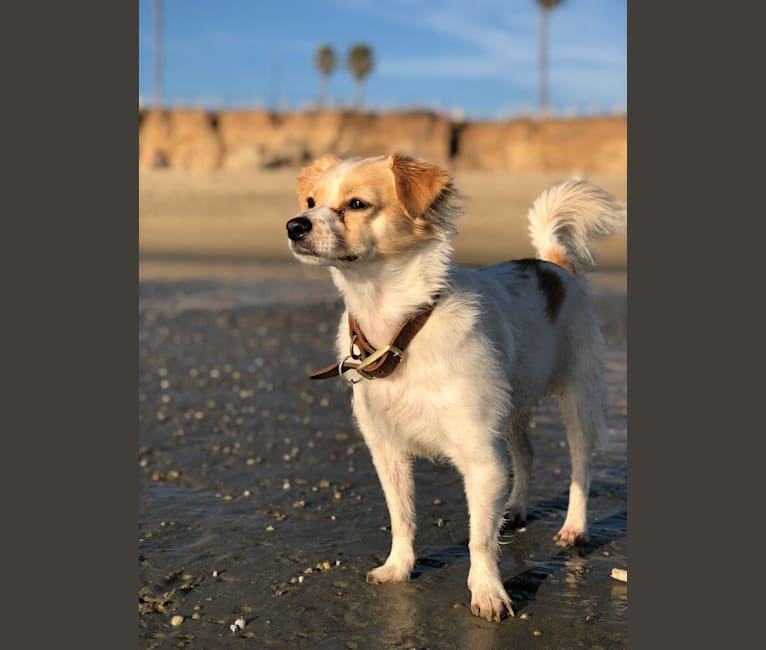 Photo of Pliny, a Chihuahua, Poodle (Small), and Miniature Pinscher mix in San Bernardino, California, USA