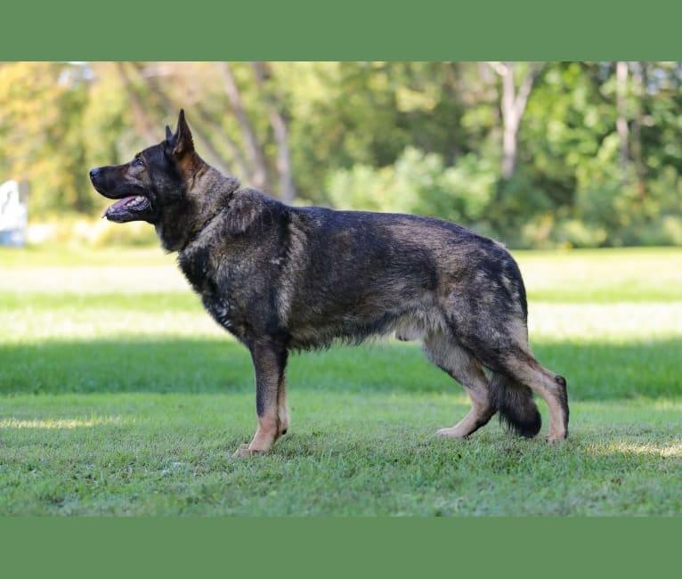Photo of Draco, a German Shepherd Dog  in Buffalo, NY, USA