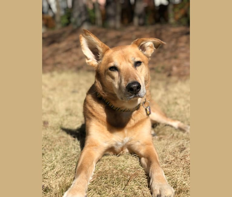 Photo of Bradley, a Chow Chow, German Shepherd Dog, and Mixed mix in Atlanta, Georgia, USA