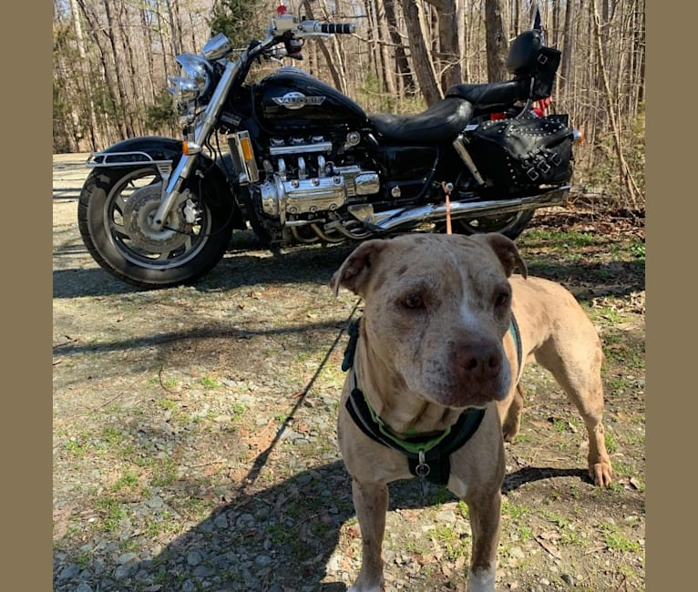 Photo of Tammy, an American Pit Bull Terrier and Boxer mix in Charlotte, North Carolina, USA