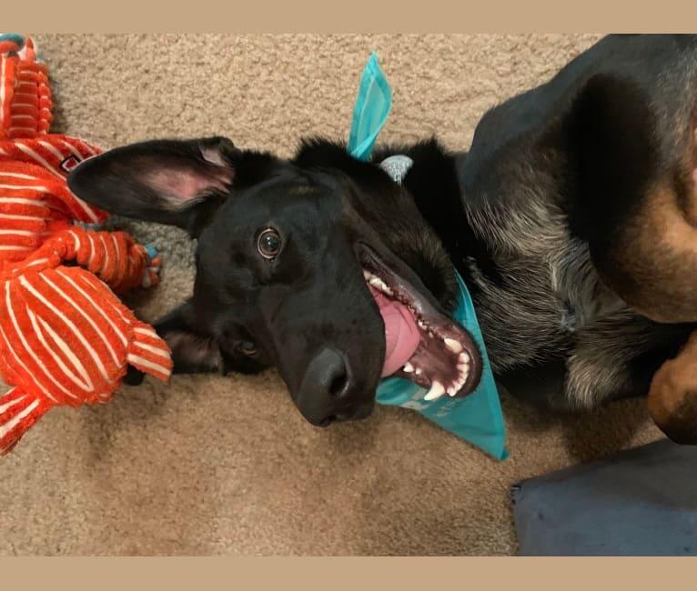 Photo of Leeroy Jenkins, a German Shepherd Dog and Australian Cattle Dog mix in Tucson, Arizona, USA