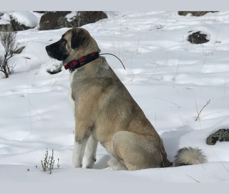 Photo of Argos, an Anatolian Shepherd Dog  in Malatya, Malatya, Turkey