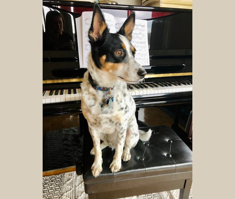 Photo of Foster, an Australian Cattle Dog and American Eskimo Dog mix in Ohio, USA