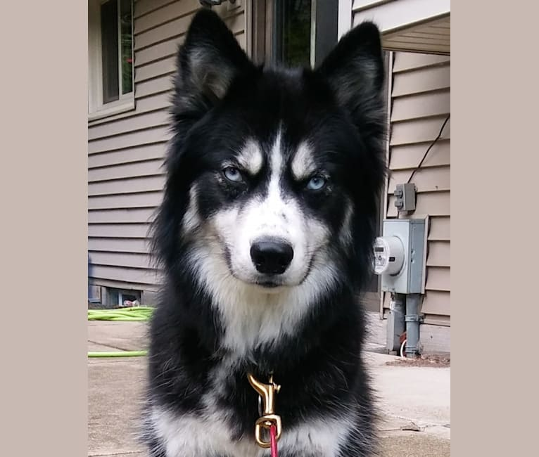 Photo of Aurora, a Siberian Husky  in White Lake, WI, USA