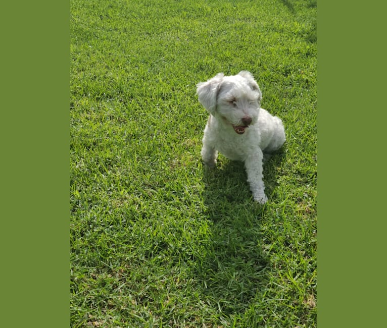 Photo of Lolor, a Shih Tzu, Chihuahua, Poodle (Small), Bichon Frise, and Maltese mix in Cerritos, California, USA