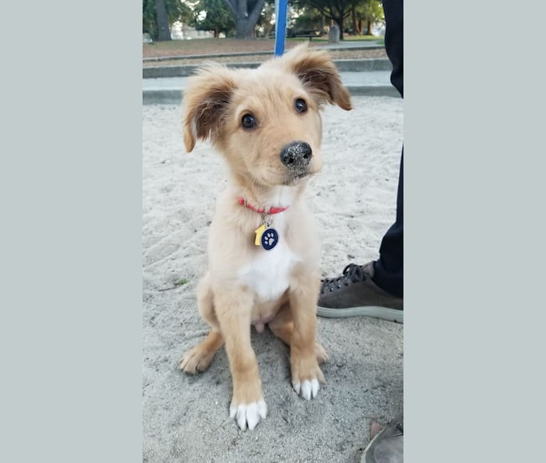 Photo of Noodle, a German Shepherd Dog, Doberman Pinscher, and Brittany mix in California, USA
