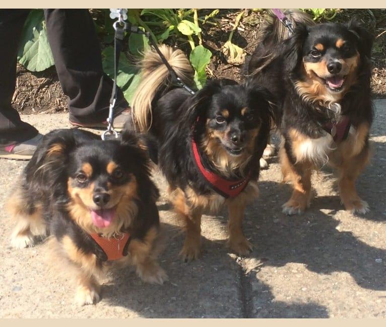 Photo of Hugo, a Chihuahua, Pomeranian, Cocker Spaniel, Poodle (Small), and Dachshund mix in Walnut Creek, California, USA