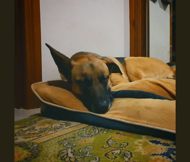 Photo of Jethro, a German Shepherd Dog and American Pit Bull Terrier mix in Sydney, New South Wales, Australia