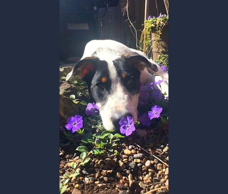 Photo of Dame, an American Pit Bull Terrier, Australian Cattle Dog, Australian Shepherd, Bull Terrier, and German Shepherd Dog mix in California, USA